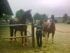 kleines-pferd